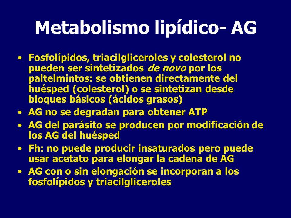 Metabolismo lipídico Fosfatidilcolina y fosfatidiletanolamina son los fosfolípidos predominantes en Fh y Sm Fh: altos niveles de glicerofosfocolina, producto de degradación de FC indicando alto turnover Colesterol: se utiliza en la síntesis de ecdyesteroides La vía del mevalonato se utiliza para la sintesis de dolicoles para la glicosilación proteica.