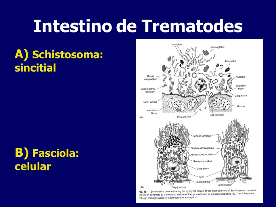 Intestino de Trematodes Hematófagos: sangre fuente de nutrientes Enzimas proteolíticas –Cisteína proteasas: Catepsinas L y B –Aspartil proteasas –Serina proteasas –Roles en invasión y evasión de respuesta inmune