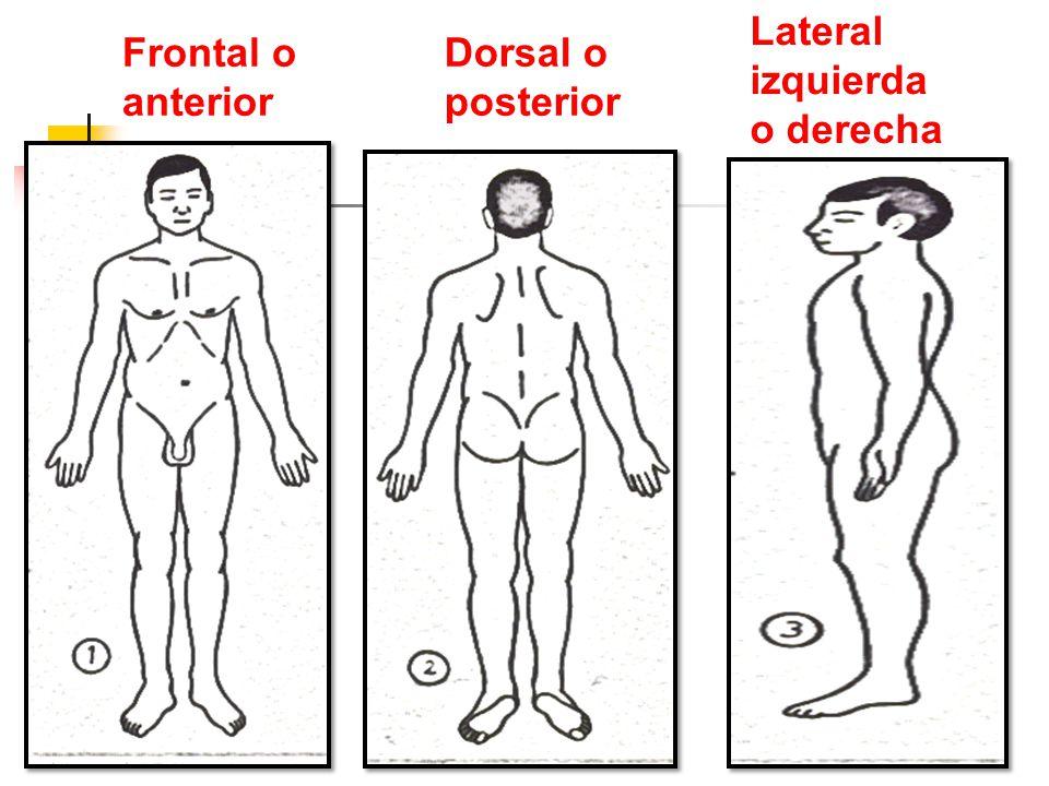 Otros Términos de Orientación Proximal Proximal Distal Distal Superficial Superficial Profundo Profundo Homolateral Homolateral Contralateral Contralateral Parietal Parietal Visceral Visceral Intermedio Intermedio