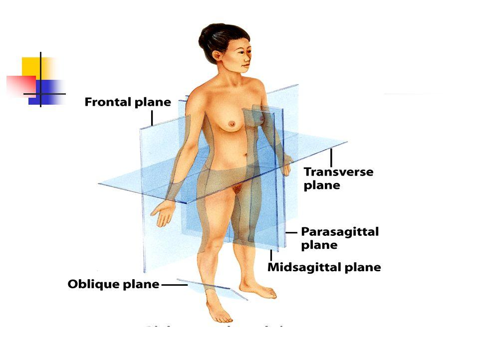 ANATOMÍA TOPOGRÁFICA Grandes segmentos corporales: D.