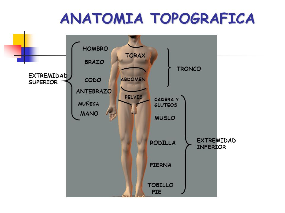 ANATOMIA TOPOGRAFICA Planos o secciones corporales, son trazos de límites imaginarios, que considerando al cuerpo humano como un elemento tridimensional, nos permite dividirlo en segmentos cortos: A.
