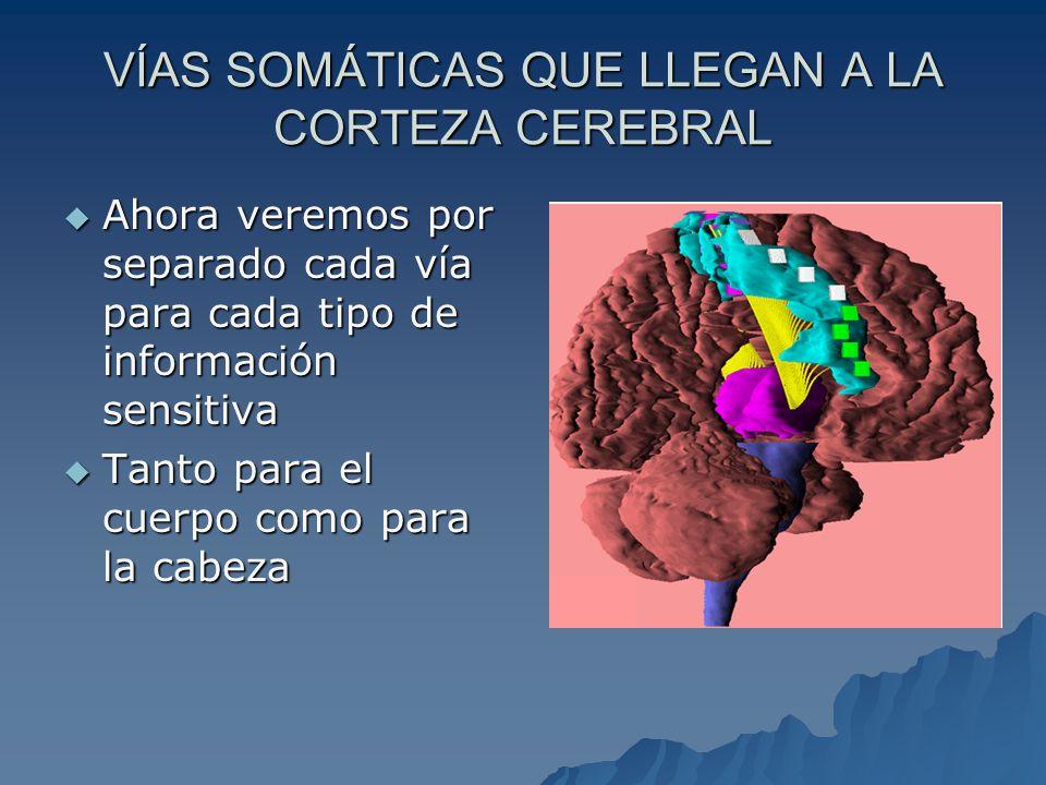 VÍA DE LAS SENSACIONES DOLOROSAS Y TÉRMICAS Fascículo espinotalámico lateral Receptor Receptor –Terminaciones nerviosas libres (dolor) –Corpúsculo de Ruffini (calor) –Corpúsculos de Krause (frío) Primera neurona Primera neurona – Ganglio de la raíz posterior Primera sinapsis y segunda neurona Primera sinapsis y segunda neurona – Asta posterior de la médula Cruzamiento Cruzamiento –Comisura blanca anterior (médula espinal) Segunda sinapsis y tercera neurona Segunda sinapsis y tercera neurona – Tálamo Corteza cerebral Corteza cerebral – Área sensitiva
