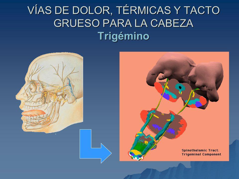 VÍAS PARA LA SENSIBILIDAD PROPIOCEPTIVA CONSCIENTE Y TACTO FINO Fascículos de Goll y de Burdach Receptor Receptor –Corpúsculos de Meissner –Huso neuromuscular –Corpúsculos de Pacini –Redes en cesta (folículos pilosos) –Corpúsculos de Golgi-Mazzoni Primera neurona Primera neurona – Ganglio de la raíz posterior Primera sinapsis y segunda neurona Primera sinapsis y segunda neurona – Núcleos de Goll y de Burdach en el bulbo raquídeo Cruzamiento Cruzamiento –Fibras arciformes internas en el bulbo raquídeo –Lemnisco medial Segunda sinapsis y tercera neurona Segunda sinapsis y tercera neurona – Tálamo Corteza cerebral Corteza cerebral – Área sensitiva