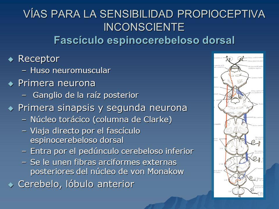 VÍAS PARA LA SENSIBILIDAD PROPIOCEPTIVA INCONSCIENTE Fascículo espinocerebeloso dorsal