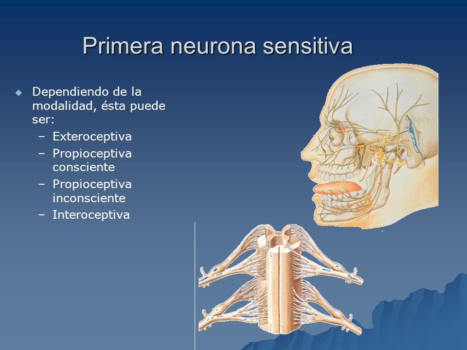 Primera sinapsis sensitiva Información exteroceptiva de dolor y temperatura: Sustancia gelatinosa de Rolando.