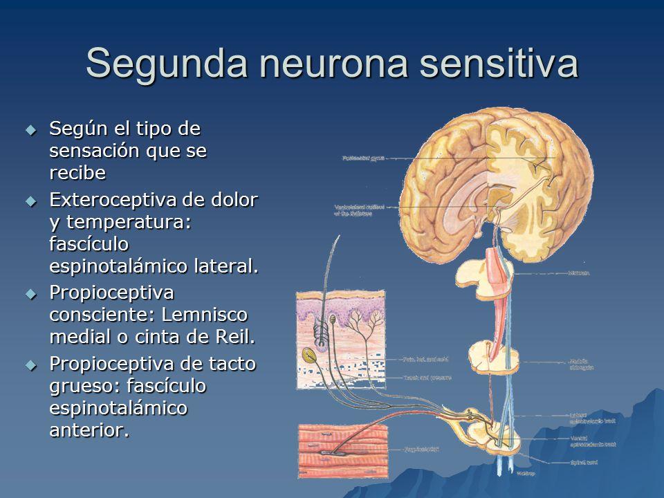 Segunda sinapsis sensitiva Para todas las modalidades de la sensibilidad consciente.