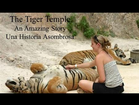 The Tiger Temple An Amazing Story Una Historia Asombrosa.