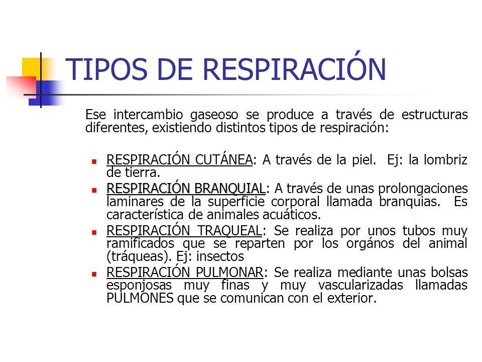 APARATO CIRCULATORIO Transporta, tanto nutrientes del aparato digestivo como gases procedentes del aparato circulatorio, gracias a la existencia de líquidos como la sangre.