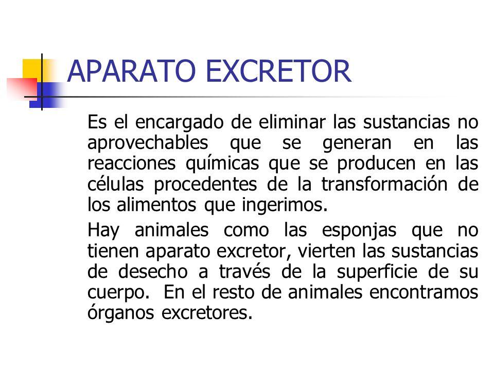 ÓRGANOS EXCRETORES TÚBULOS DE MALPIGHI: En insectos, unos tubos cerrados por un extremo y abiertos por el opuesto al tubo digestivo, donde vierten los productos de desecho.