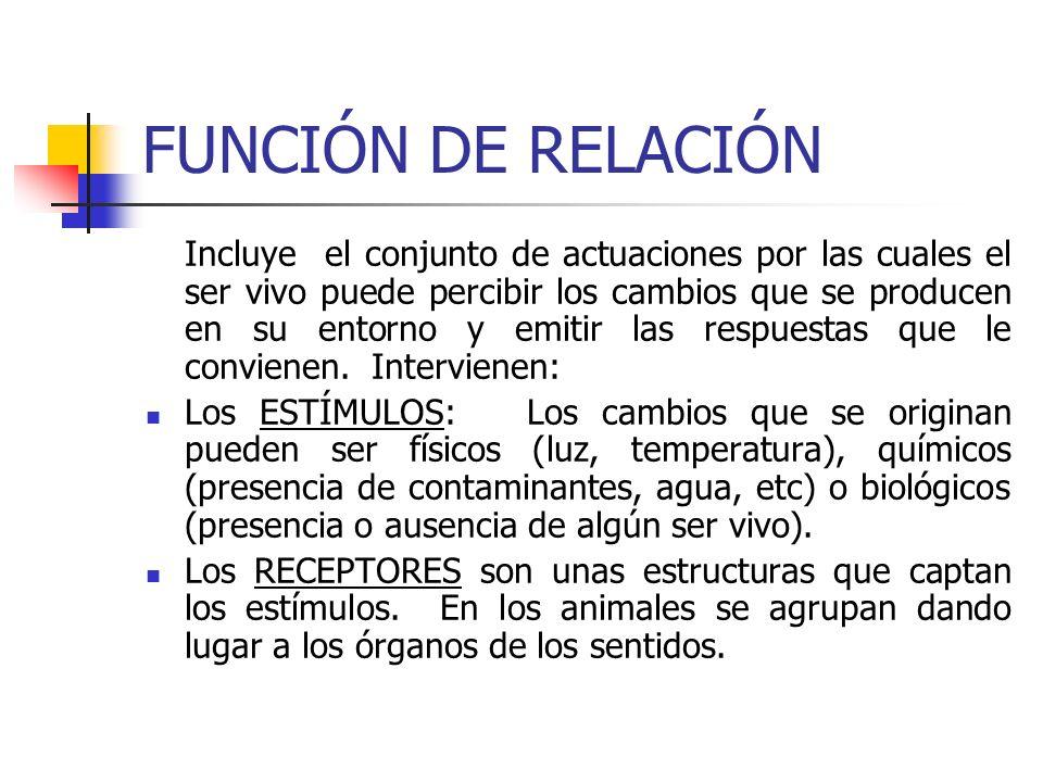 FUNCIÓN DE RELACIÓN (continuación) Los COORDINADORES son los órganos encargados de recibir la información de los receptores y elaborar la respuestas en cada caso.
