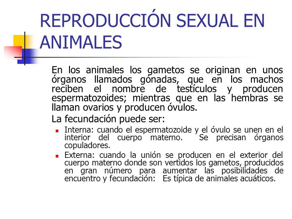 REPRODUCCIÓN SEXUAL EN ANIMALES (continuación) En todos los casos tras la fecundación se forma el cigoto, que irá sufriendo divisiones celulares hasta originar el embrión.