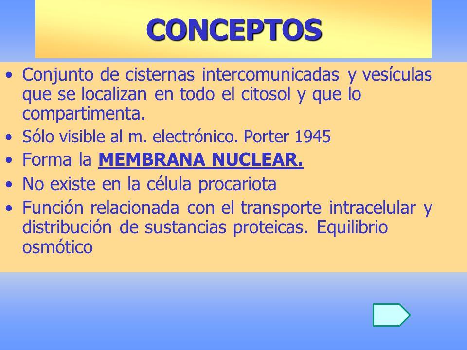 RETÍCULO ENDOPLASMÁTICO MICROSCOPIO ELECTRÓNICO MODELO ULTRAESTRUCTURA MODELO ULTRAESTRUCTURA