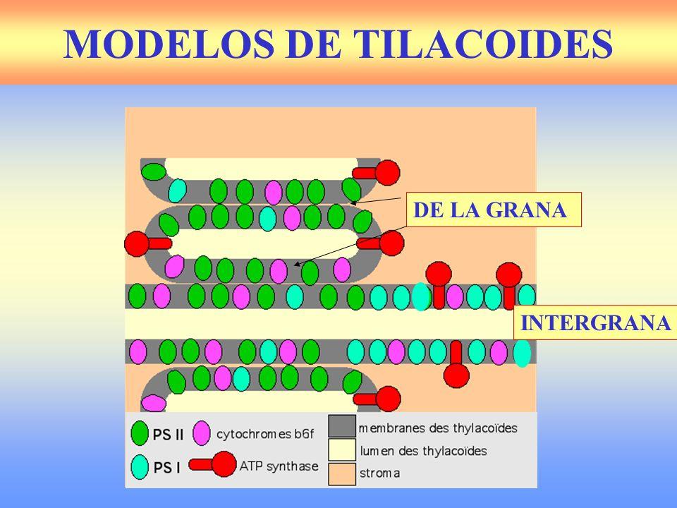 Membrana nuclear CONCEPTO DE NÚCLEO