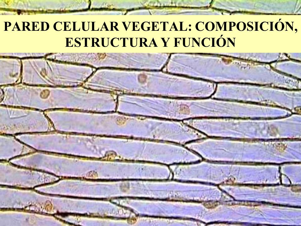 COMPOSICIÓN DE LA PARED CELULAR Matriz formada por : –Agua, sales minerales, pectina, hemicelulosa, proteínas, (pared primaria).