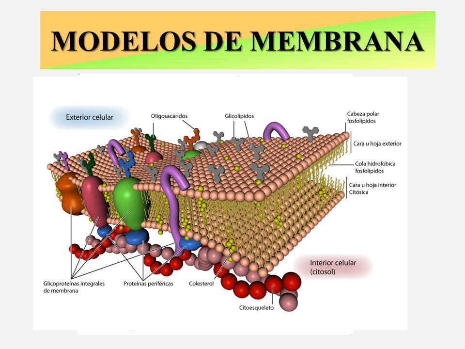 FUNCIONES DE LAS MEMBRANAS D.N.I.