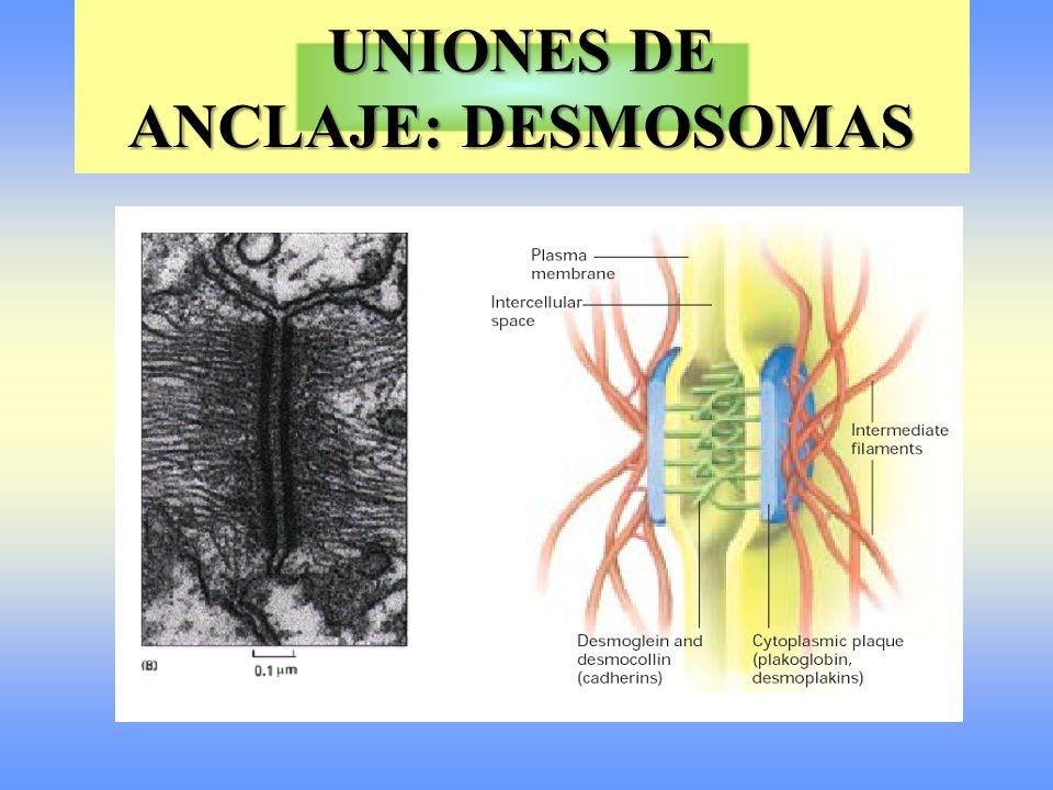 UNIONES ESTRECHAS O DE OCLUSIÓN