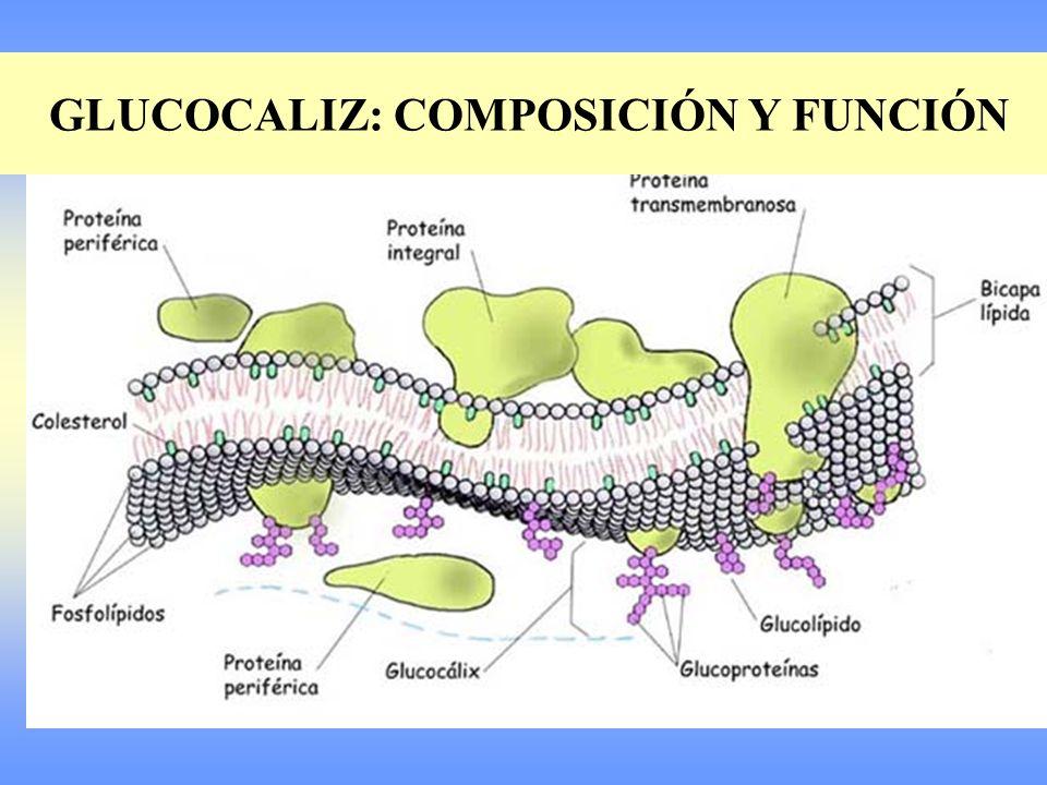 Conjunto de glucoproteínas y glucolípidos en la parte externa de la membrana que sirve para el reconocimiento celular.
