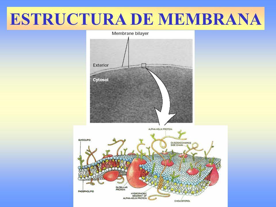 CONCEPTO DE MEMBRANA CELULAR Es una formación continua sólo visible al electrónico de 100 Å de grosor que da forma y limita a la célula.