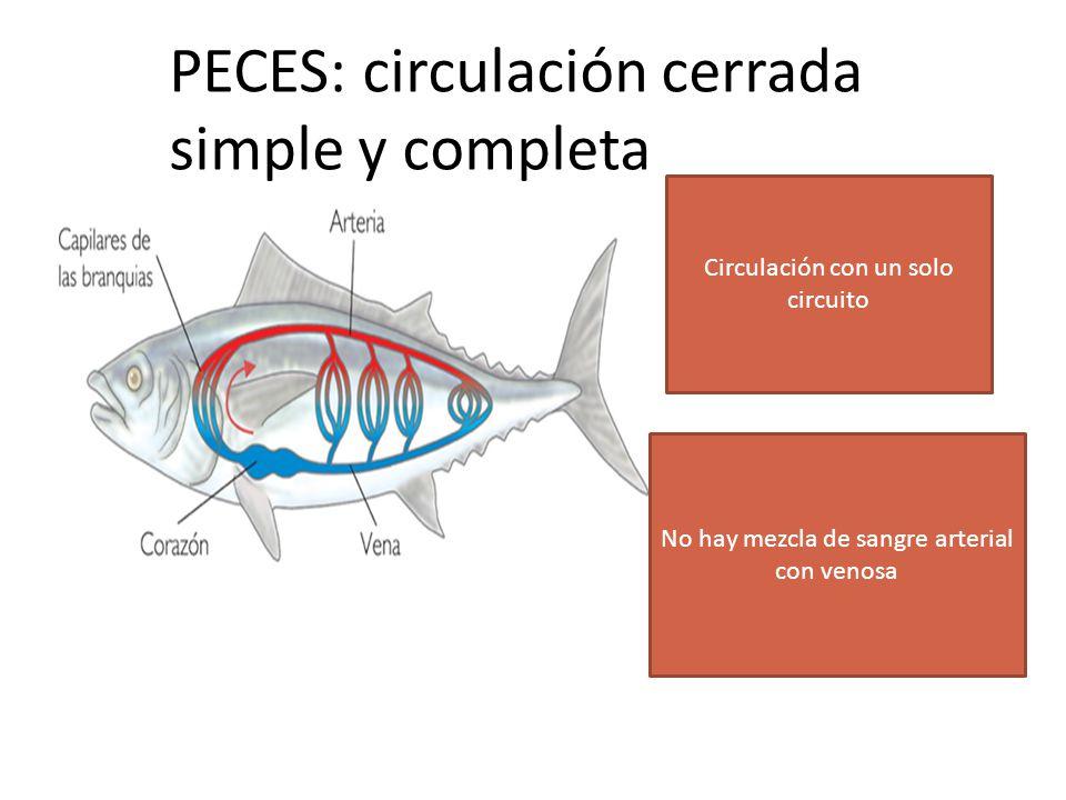 ANFIBIOS: Circulación Cerrada Doble E Incompleta SANGRE DESOXIGENADA (VENOSA) SANGRE OXIGENADA (ARTERIAL)
