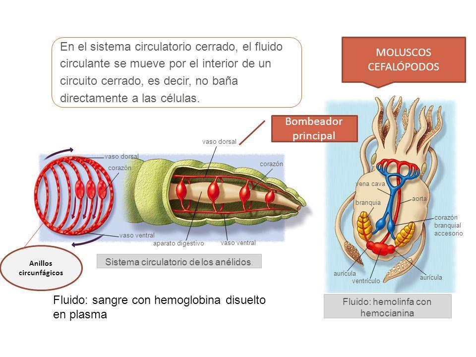 red de capilares en las branquias sangre oxigenada red de capilares en los órganos del cuerpo corazón arterias branquiales eferentes arterias branquiales aferentes ventrículo aurículaseno venoso sangre desoxigenada Sistema circulatorio simple