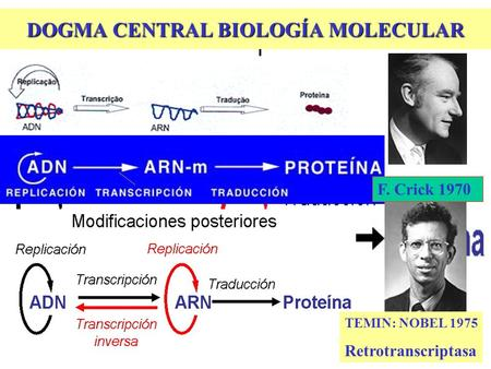 DOGMA CENTRAL BIOLOGÍA MOLECULAR TEMIN: NOBEL 1975 Retrotranscriptasa F. Crick 1970.