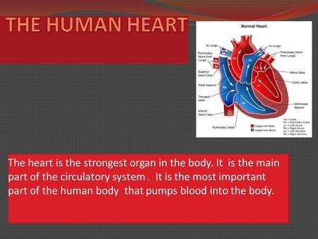 The heart is the strongest organ in the body. It is the main part of the circulatory system. It is the most important part of the human body that pumps.