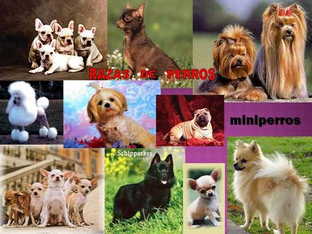 minis-y-pequenos/index.php JACK RUSSELL TERRIER CHIHUAHUA  minis-y-pequenos/chihuahua.-los-perros-de-