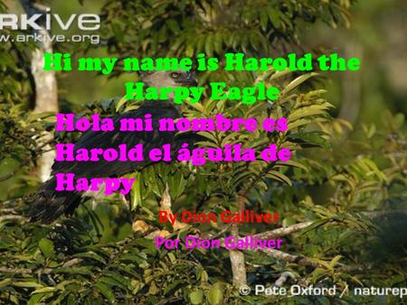 Hi my name is Harold the Harpy Eagle By Dion Galliver Por Dion Galliver Hola mi nombre es Harold el águila de Harpy.