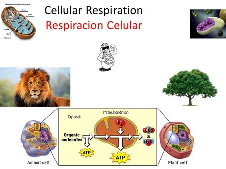 Cellular Respiration Respiracion Celular. What is Cellular Respiration? Que es la Respiracion Celular? Process of breaking down glucose and other food.