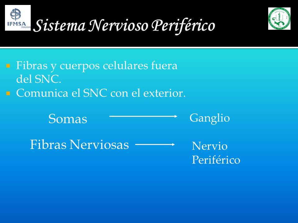 Sistema Nervioso Periférico Nervios raquídeos Pares craneales