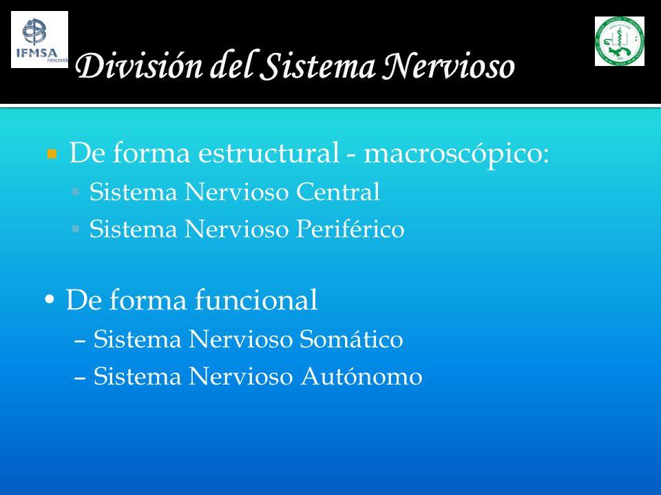 Sistema Nervioso Central - microscópico Somas Núcleo – sustancia gris Fibras Nerviosas Tracto o Fascículo sustancia blanca