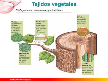Tejidos vegetales meristem ticos crecimiento primarios for Plantas fundamentales