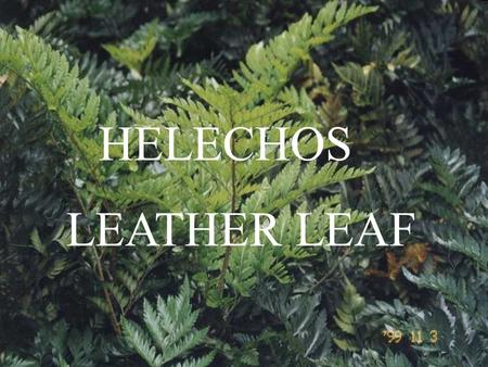 HELECHOS LEATHER LEAF.