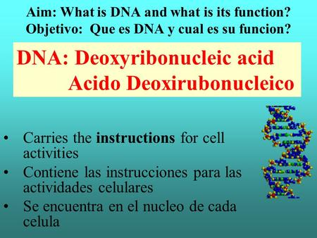 Aim: What is DNA and what is its function? Objetivo: Que es DNA y cual es su funcion? Carries the instructions for cell activities Contiene las instrucciones.
