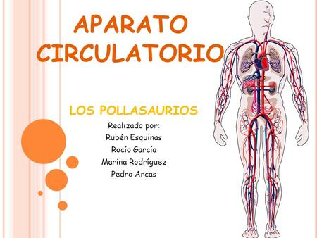 Funcion sistema circulatorio resumen