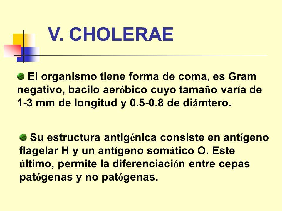 V. CHOLERAE El organismo tiene forma de coma, es Gram negativo, bacilo aeróbico cuyo tamaño varía de 1-3 mm de longitud y 0.5-0.8 de diámtero.