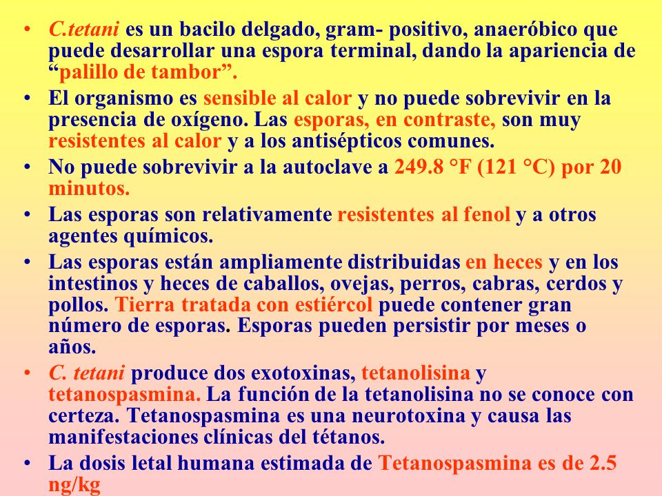 C.tetani es un bacilo delgado, gram- positivo, anaeróbico que puede desarrollar una espora terminal, dando la apariencia de palillo de tambor .