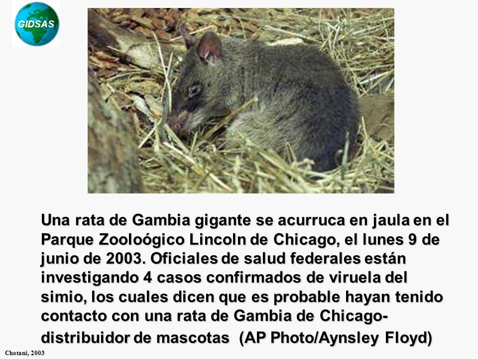 Una rata de Gambia gigante se acurruca en jaula en el Parque Zooloógico Lincoln de Chicago, el lunes 9 de junio de 2003.
