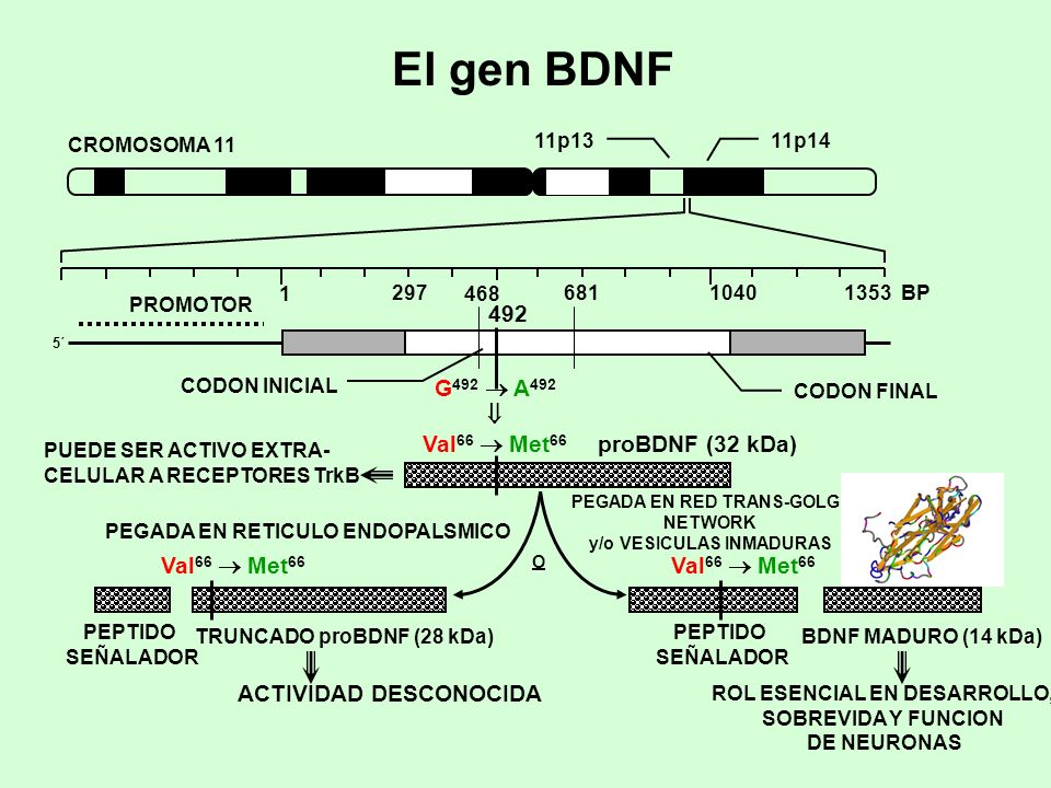 El gen BDNF 492 G492  A492  Val66  Met66 proBDNF (32 kDa)