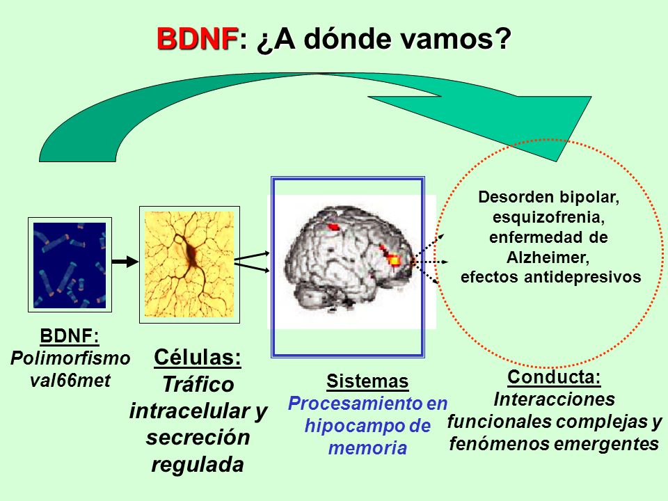 BDNF: ¿A dónde vamos Células: