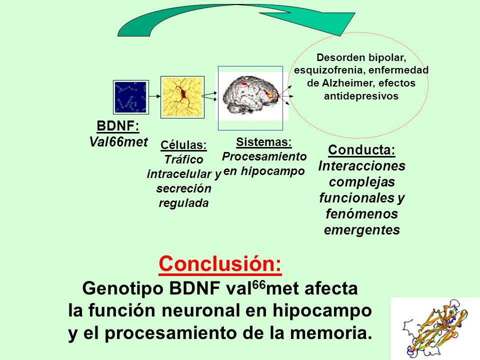 Conclusión: Genotipo BDNF val66met afecta