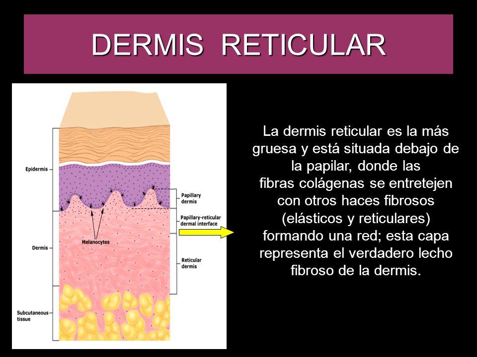 DERMIS RETICULAR La dermis reticular es la más gruesa y está situada debajo de la papilar, donde las.