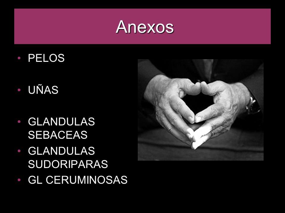 Anexos PELOS UÑAS GLANDULAS SEBACEAS GLANDULAS SUDORIPARAS