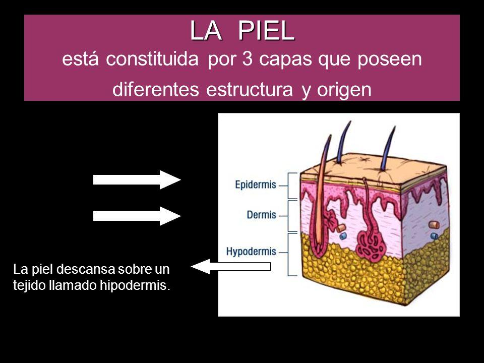 LA PIEL está constituida por 3 capas que poseen diferentes estructura y origen