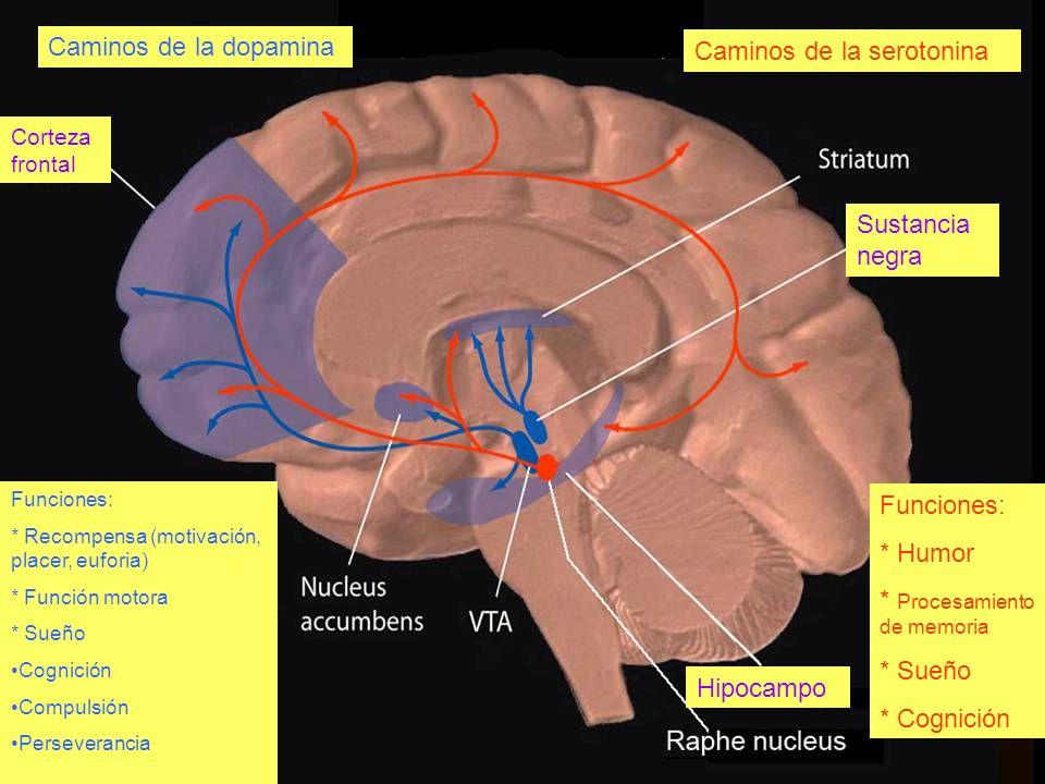 Caminos de la serotonina