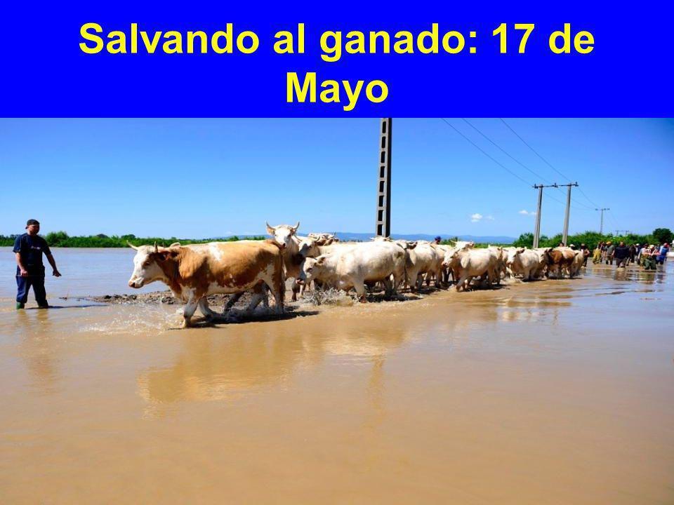 Salvando al ganado: 17 de Mayo