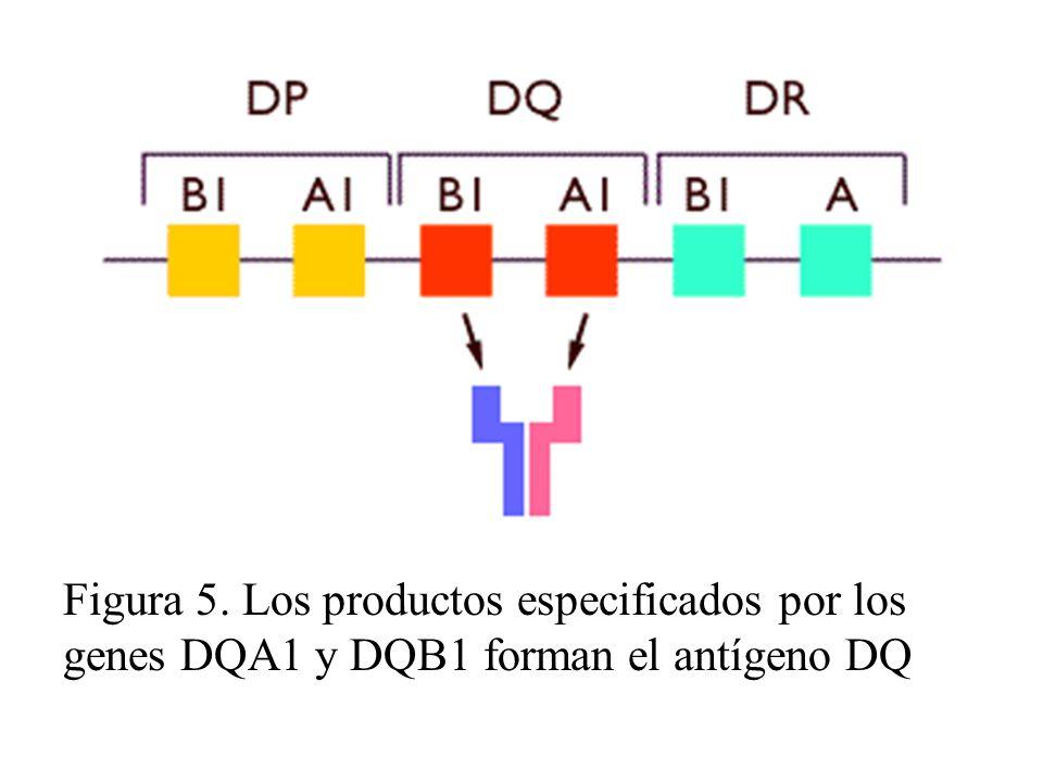 Múltiples genes en el cromosoma 6 de la región son conocidos por aumentar el riesgo de desarrollar DT1. Sin embargo, si sólo puedes seleccionar una molécula para estudiar, será mejor estudiar el antígeno HLA-DQ. Antígenos HLA-DQ son encontrados en la superficie de células involucradas en la respuesta inmune. Ya que DT1 es una enfermedad autoinmune, es probable que el por qué estos antígenos aumentan la susceptibilidad a la enfermedad sea debido a que algunas veces, puedan tener un impacto negativo sobre el sistema inmune.