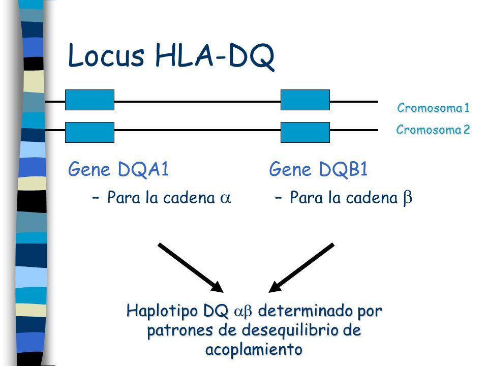 Locus HLA-DQ Gene DQA1 Gene DQB1 Para la cadena  Para la cadena 