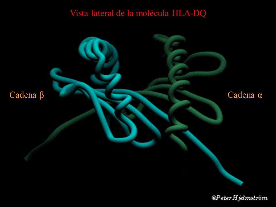 Vista lateral de la molécula HLA-DQ