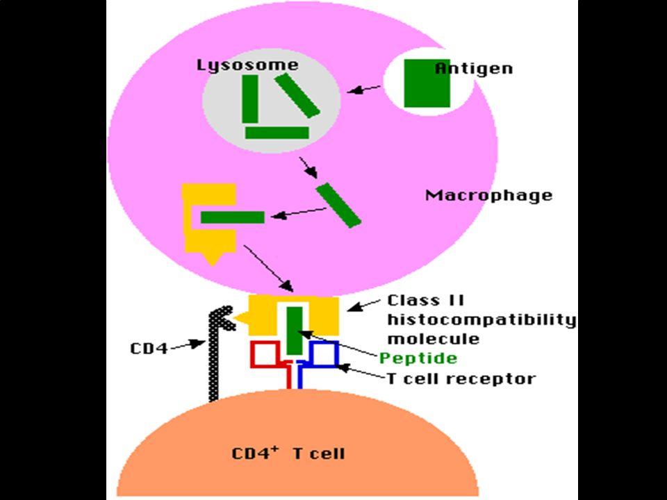 El antígeno HLA-DQ está en la superficie de un macrófago